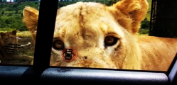 SMART LION OPEN CAR DOOR GOES VIRAL ON SOCIAL NETWORK1