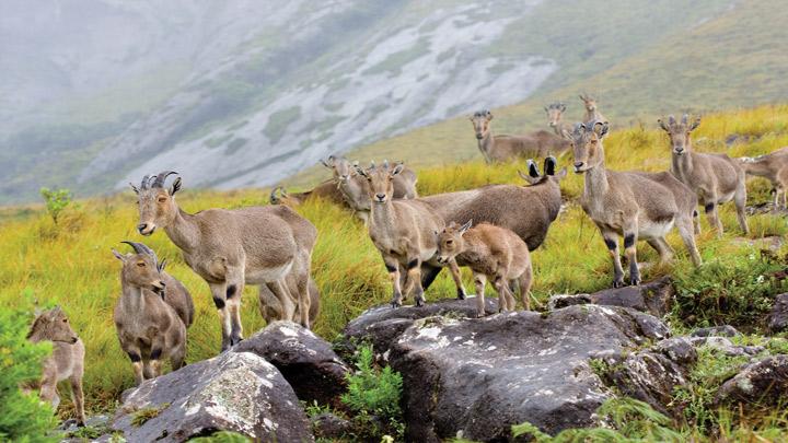 kerala-munnar-rajamalai-eravikulam-national-park